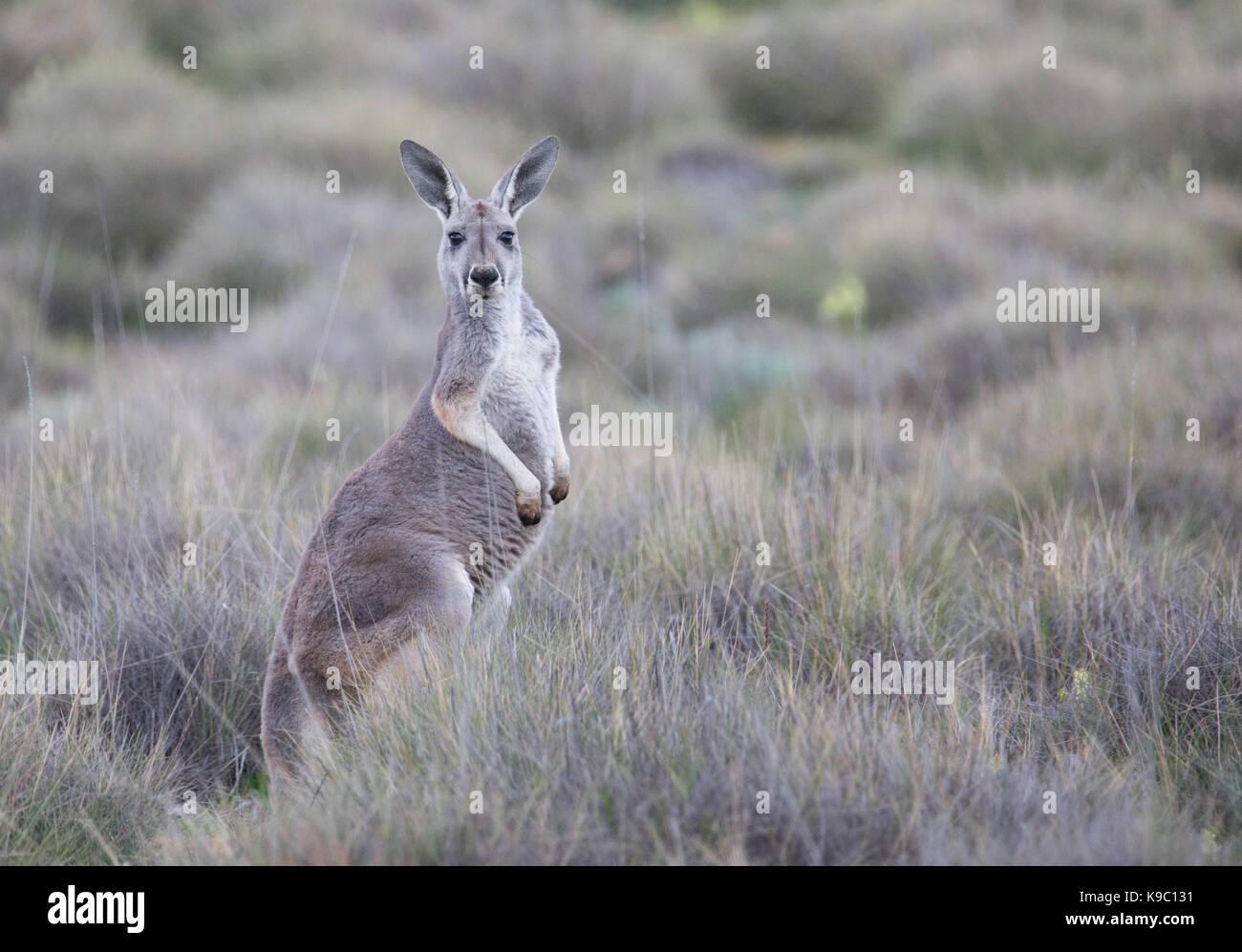 Kangourou rouge (Macropus rufus), Flinders Ranges, Australie du Sud Photo Stock