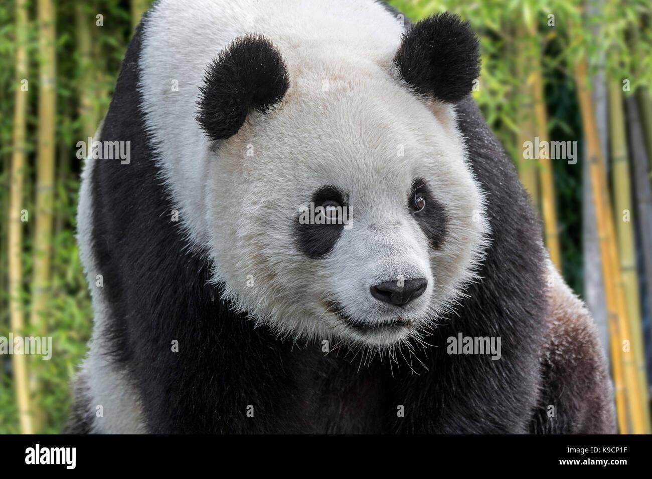 / Giant Panda panda (Ailuropoda melanoleuca) close up portrait dans la forêt de bambou Photo Stock