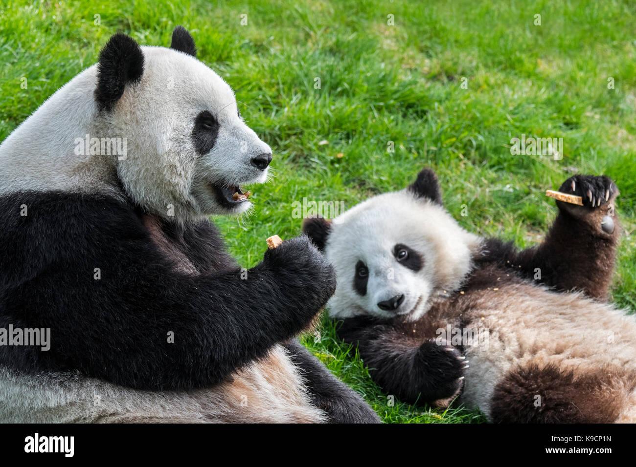 Panda géant (Ailuropoda melanoleuca) femelle avec un ans de manger des cookies au zoo du cub Photo Stock