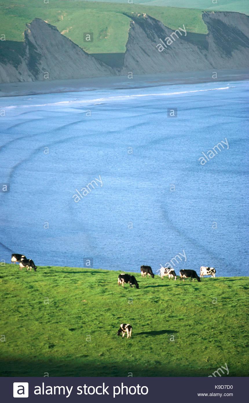 Le pâturage des vaches laitières au-dessus de la baie de Drakes, Point Reyes National Seashore, Californie Photo Stock