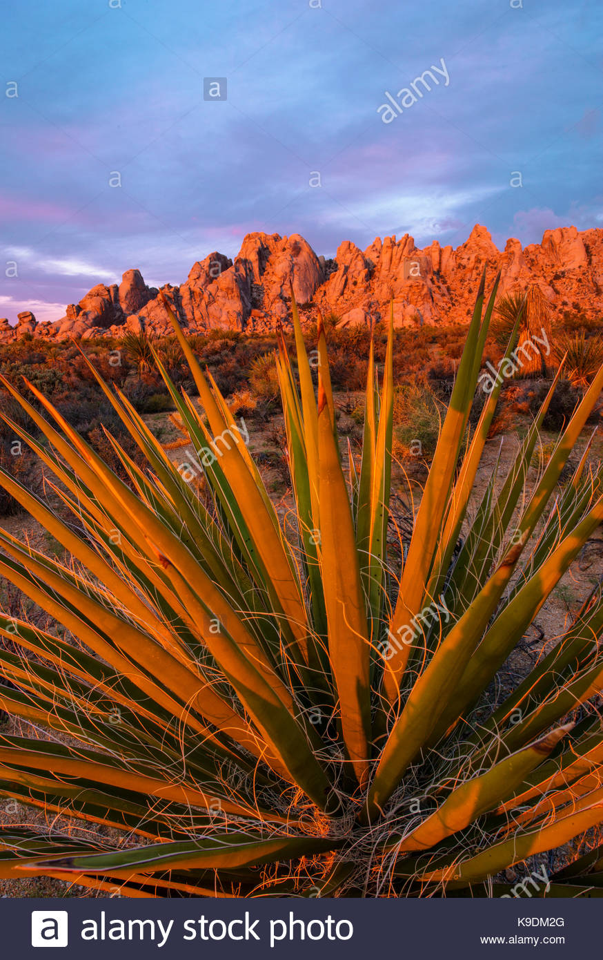 Yucca et de montagnes de granit à l'aube, Mojave National Preserve, Californie Photo Stock