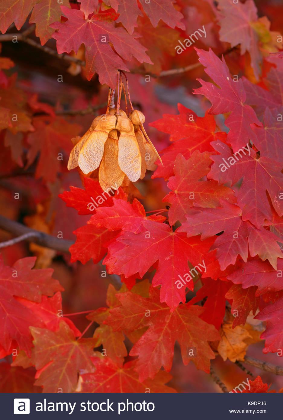 Les feuilles et les graines d'érable peuplier à grandes dents, Zion National Park, Utah Photo Stock