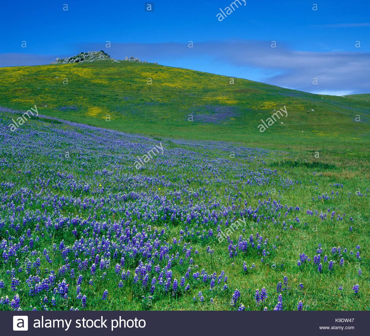 Au printemps, Lupin Nicacio, comté de Marin, en Californie Photo Stock