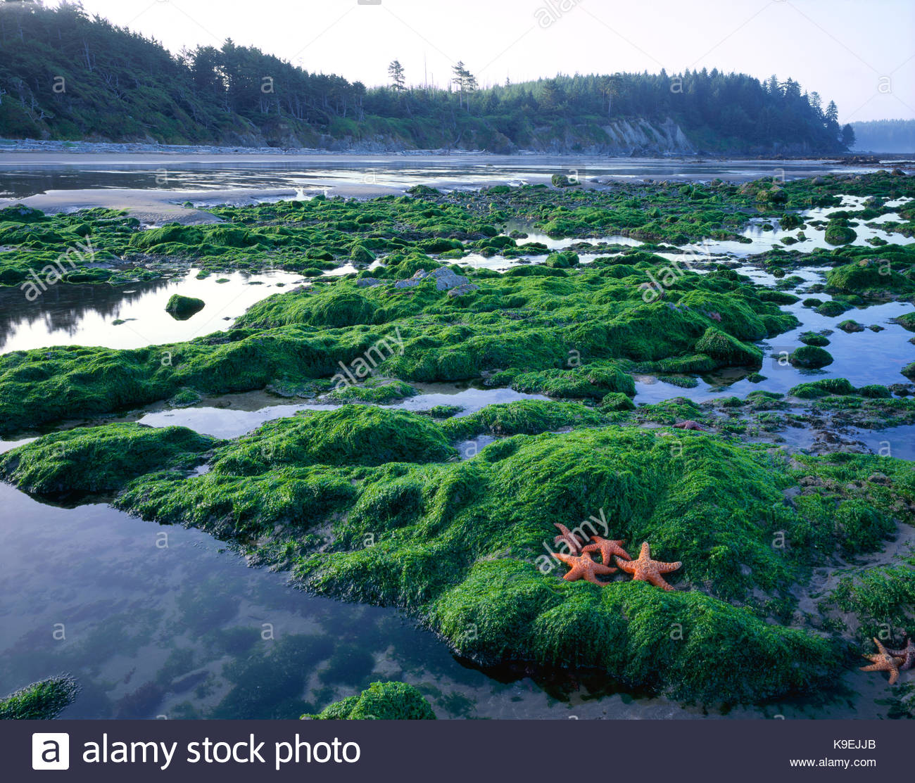 Les étoiles de mer et les mares, Olympic National Park, Washington Photo Stock