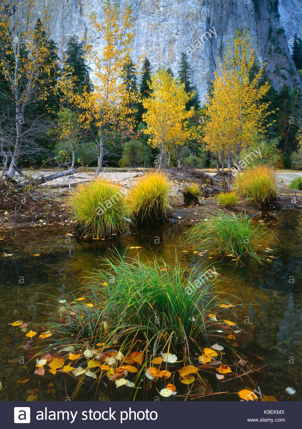 Les herbes et les feuilles d'automne dans la rivière Merced, Yosemite National Park, Californie Photo Stock