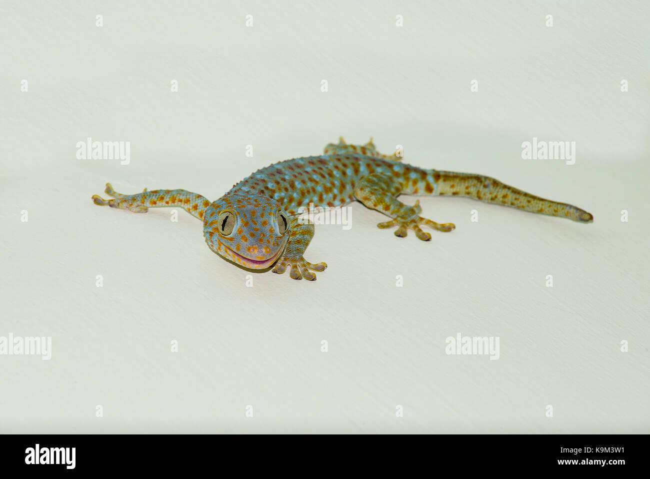 Un jeune Gecko Tokay sur le mur d'une maison à Bali, Indonésie. Ce coup de tête de tout le corps Photo Stock