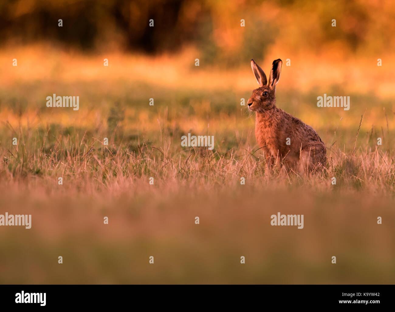 Un lièvre Brun (Lepus europaeus) appréciant les derniers rayons du soleil du soir, Warwickshire Photo Stock