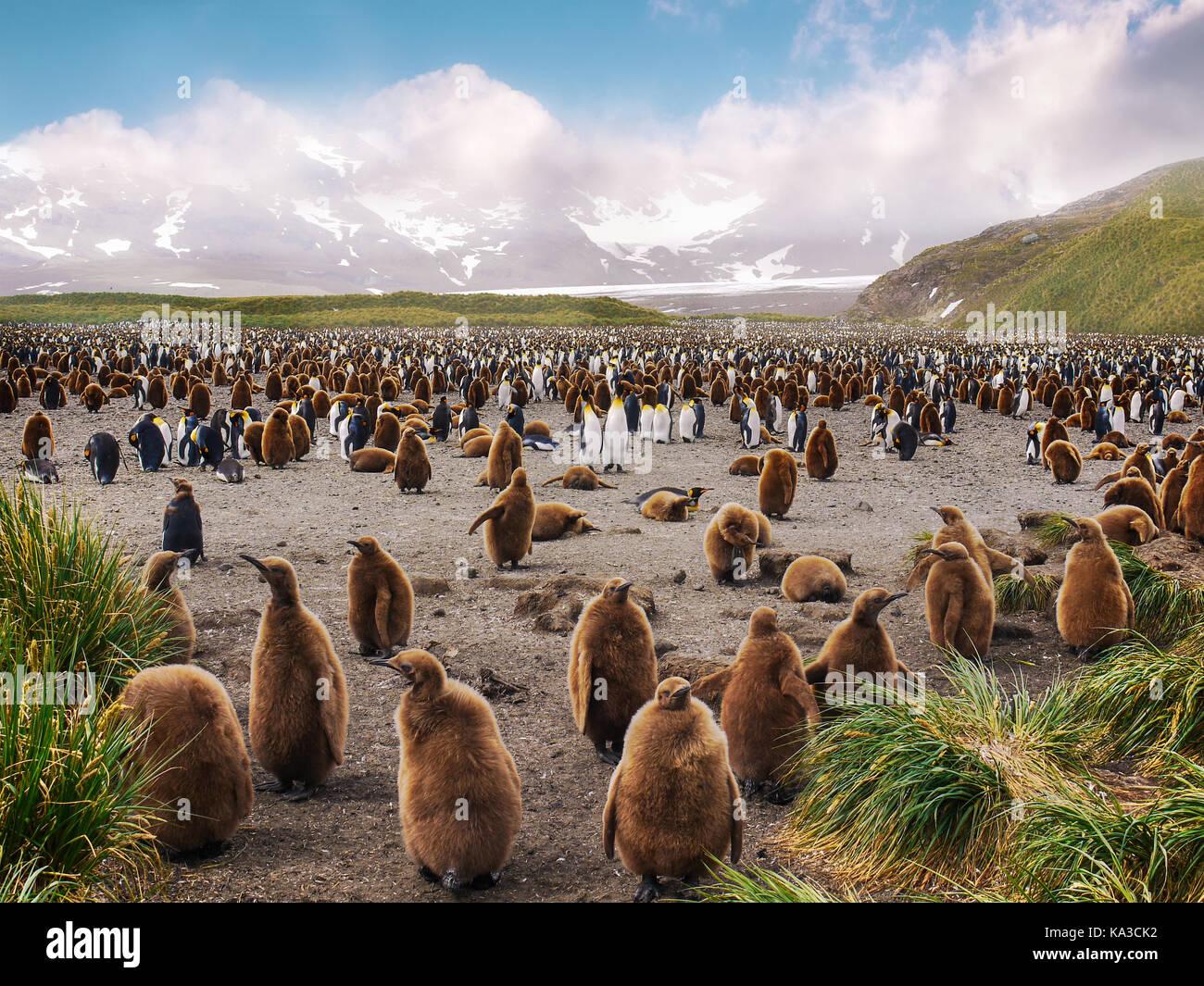 Grande colonie de pingouins roi dans la plaine de Salisbury en Géorgie du Sud avec l'île penguin chicks Photo Stock