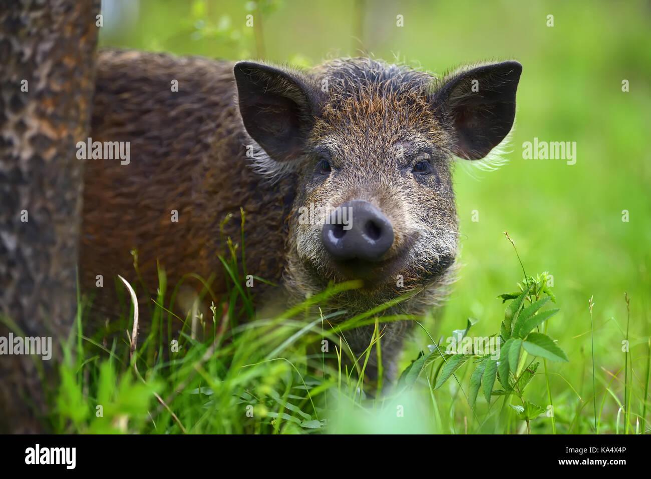 Le sanglier de la forêt dans l'heure d'été Photo Stock