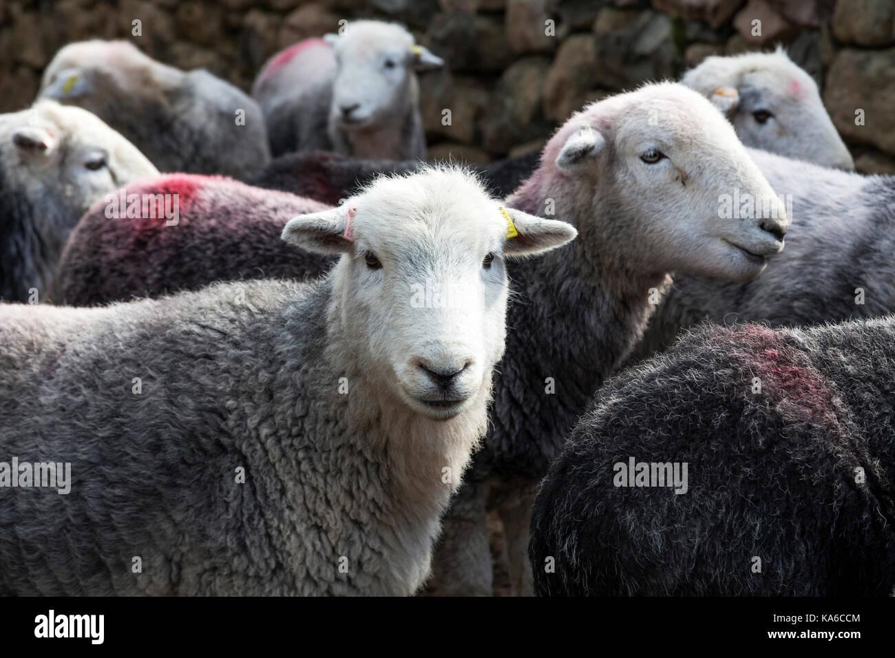Moutons Herdwick Lake District Cumbria England Photo Stock