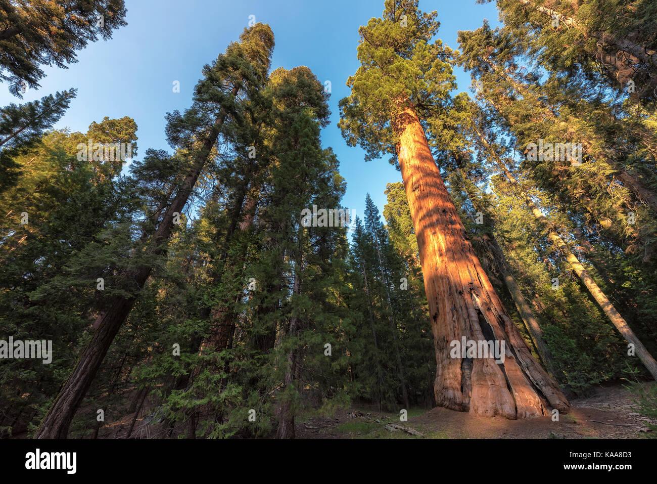 Redwood à Sequoia National Park, Californie. Banque D'Images