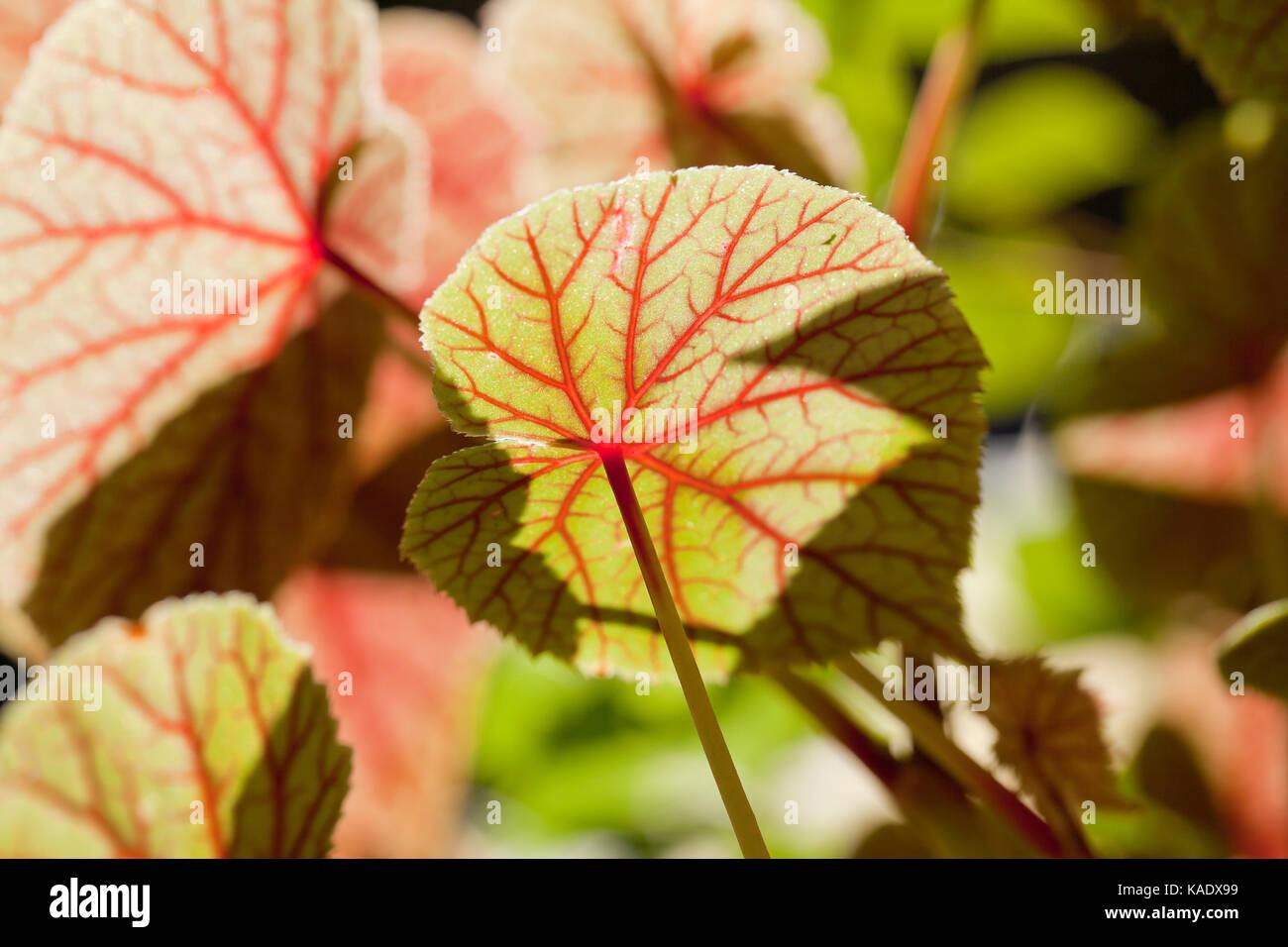 Dessous de hardy begonia feuilles présentant des nervures latérales et veines sublatéraux Photo Stock