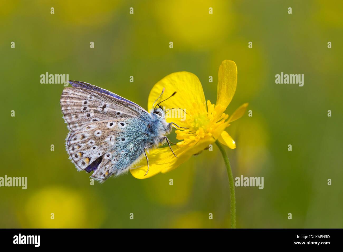 Papillon Bleu commun (Polyommatus icarus) mâle adulte se nourrissant dans un pré (Ranunculus acris) fleur Photo Stock