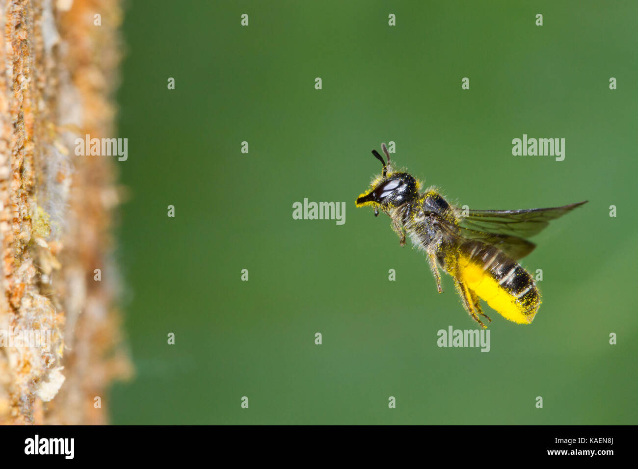 Grand Scissor-bee (Chelostoma florisomne) en vol à l'entrée du nid avec une charge de pollen. Powys, Photo Stock