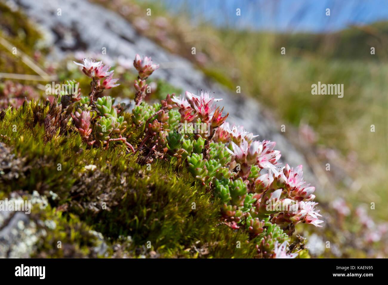 Stonecrop Sedum anglicum (anglais) la floraison sur un affleurement rocheux. Cambrian Mountains, Powys, Pays de Galles. Juillet. Banque D'Images