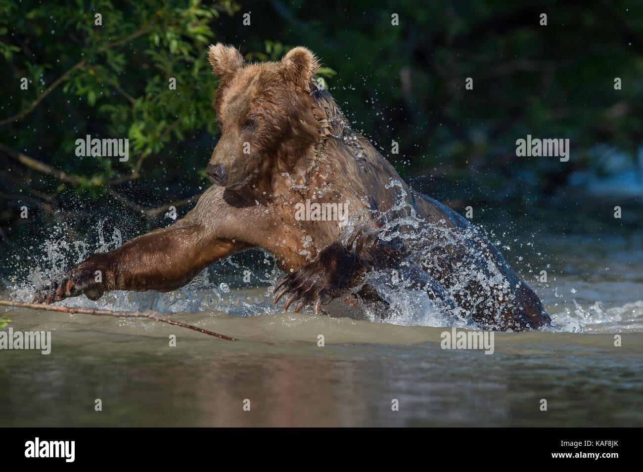Ours brun sauter sur le saumon rouge, le Kamchatka, en Russie. Photo Stock