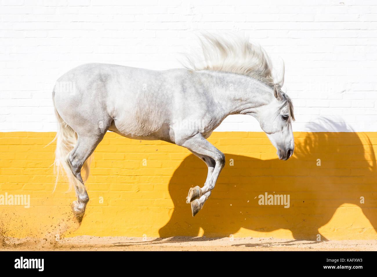 Cheval Espagnol pur, andalou. L'étalon gris sautant dans un enclos. Espagne Photo Stock