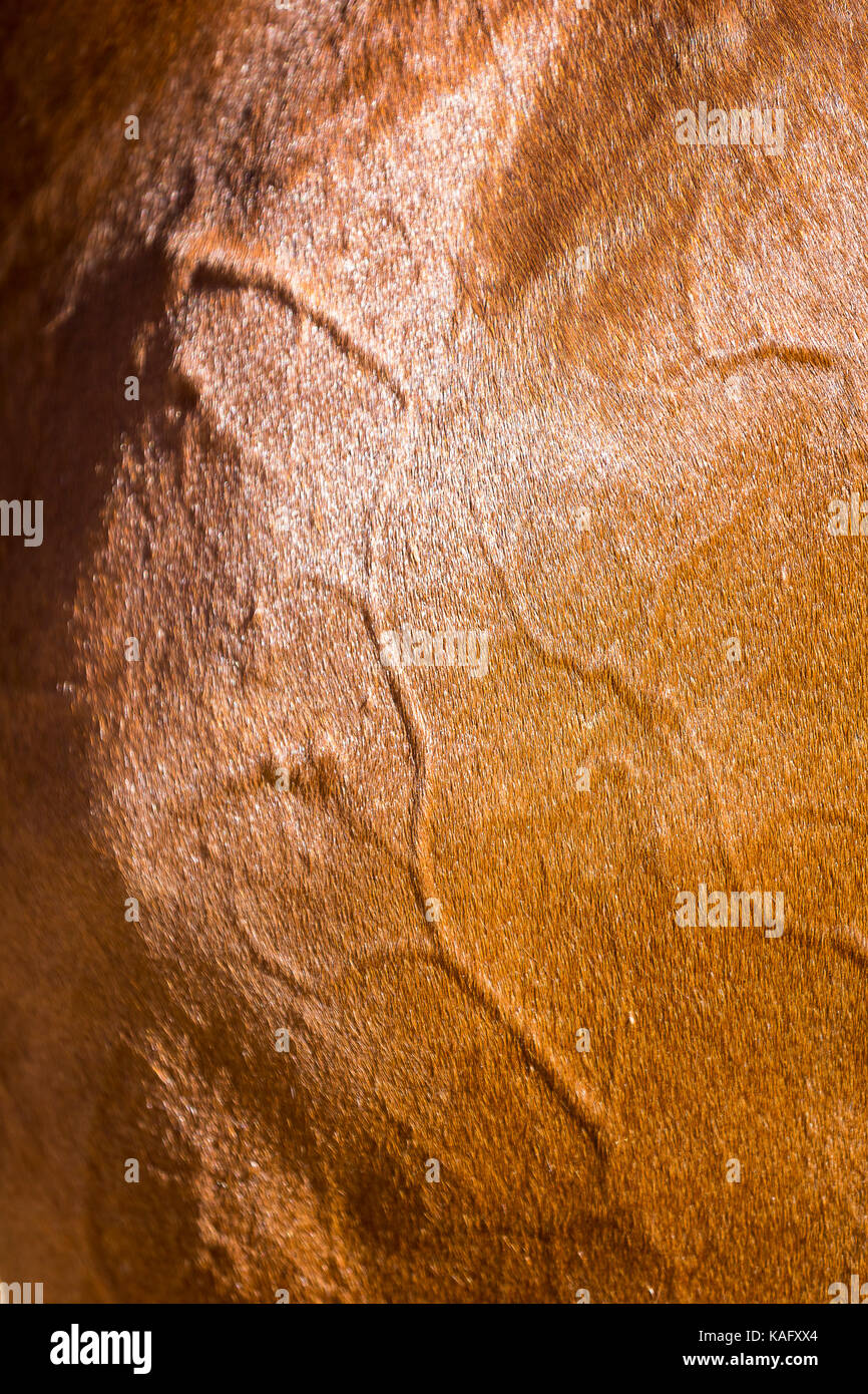 Cheval Espagnol pur, andalou. Les veines et les artères sous le manteau d'un cheval. Espagne Photo Stock
