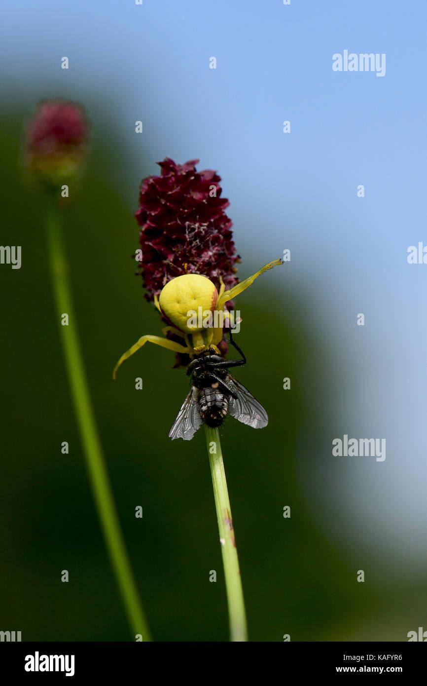 Houghton (Misumena vatia ARAIGNÉE CRABE), jaune, a cought une mouche à viande, tout en rôdant sur la fleur de la Pimprenelle (Sanguisorba officinalis) Banque D'Images