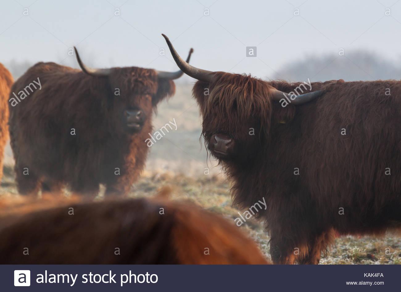 Highland cattles avec de longues cornes sur un champ neigeux en hiver. Photo Stock