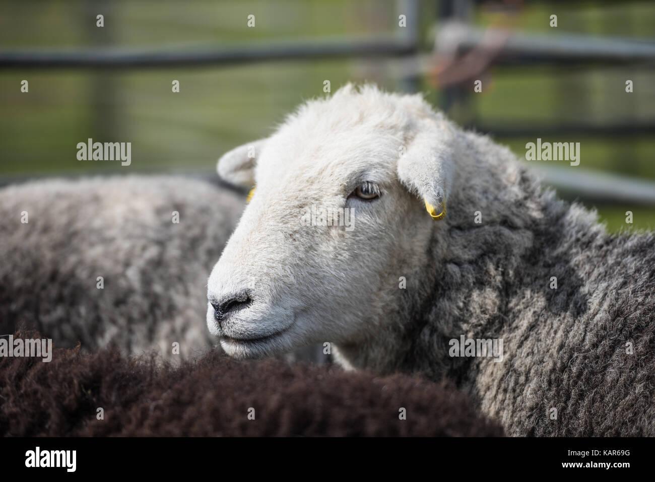Moutons Herdwick juger, Salon de l'agriculture du sud (île de Man). Photo Stock