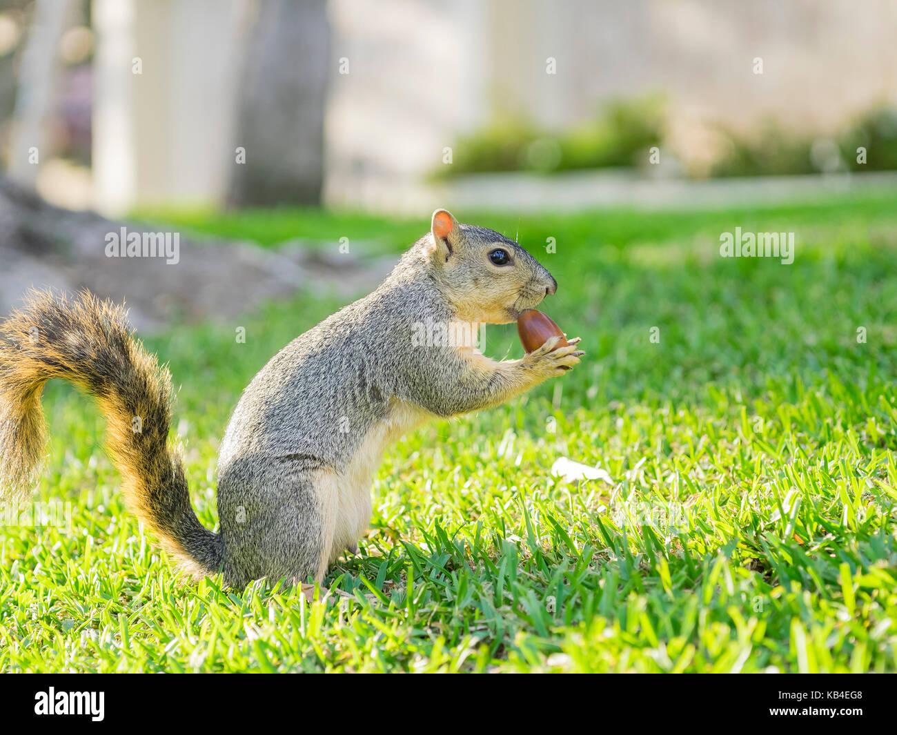 L'écureuil petit mignon manger l'écrou Photo Stock