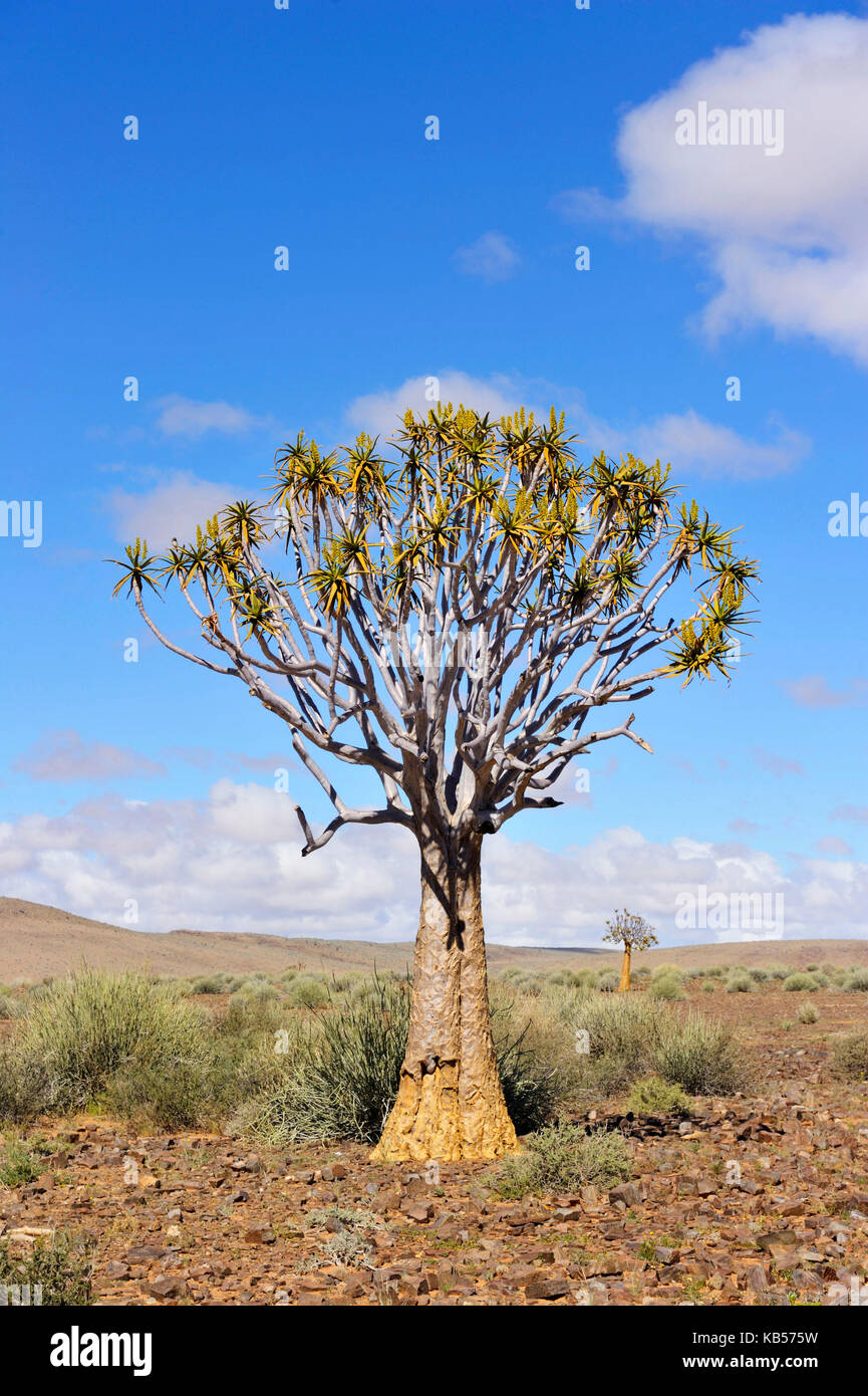 La Namibie, Karas, près de Fish River Canyon, cuiver tree (aloe dichotoma) Photo Stock