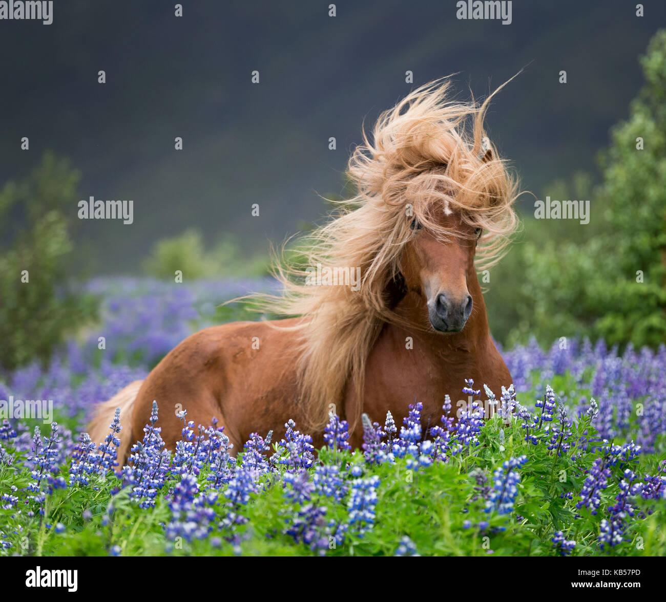 L'exécution par le lupin, cheval de race pure dans l'été de fleurs de lupins, Islande Banque D'Images