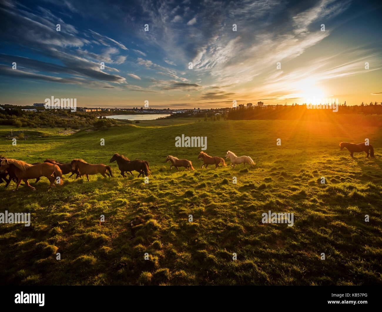 Chevaux Islandais et le coucher du soleil, l'Icelandic Horse race dans l'été de fleurs de lupins, Islande Banque D'Images