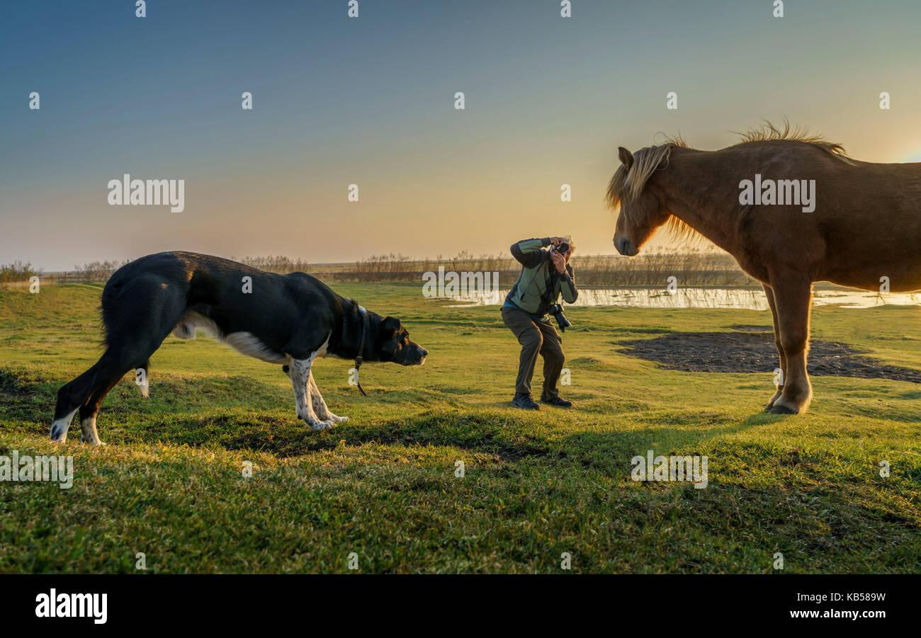 Prendre des photos de tourisme d'un cheval islandais pendant que le chien s'approche, l'Islande. Photo Stock