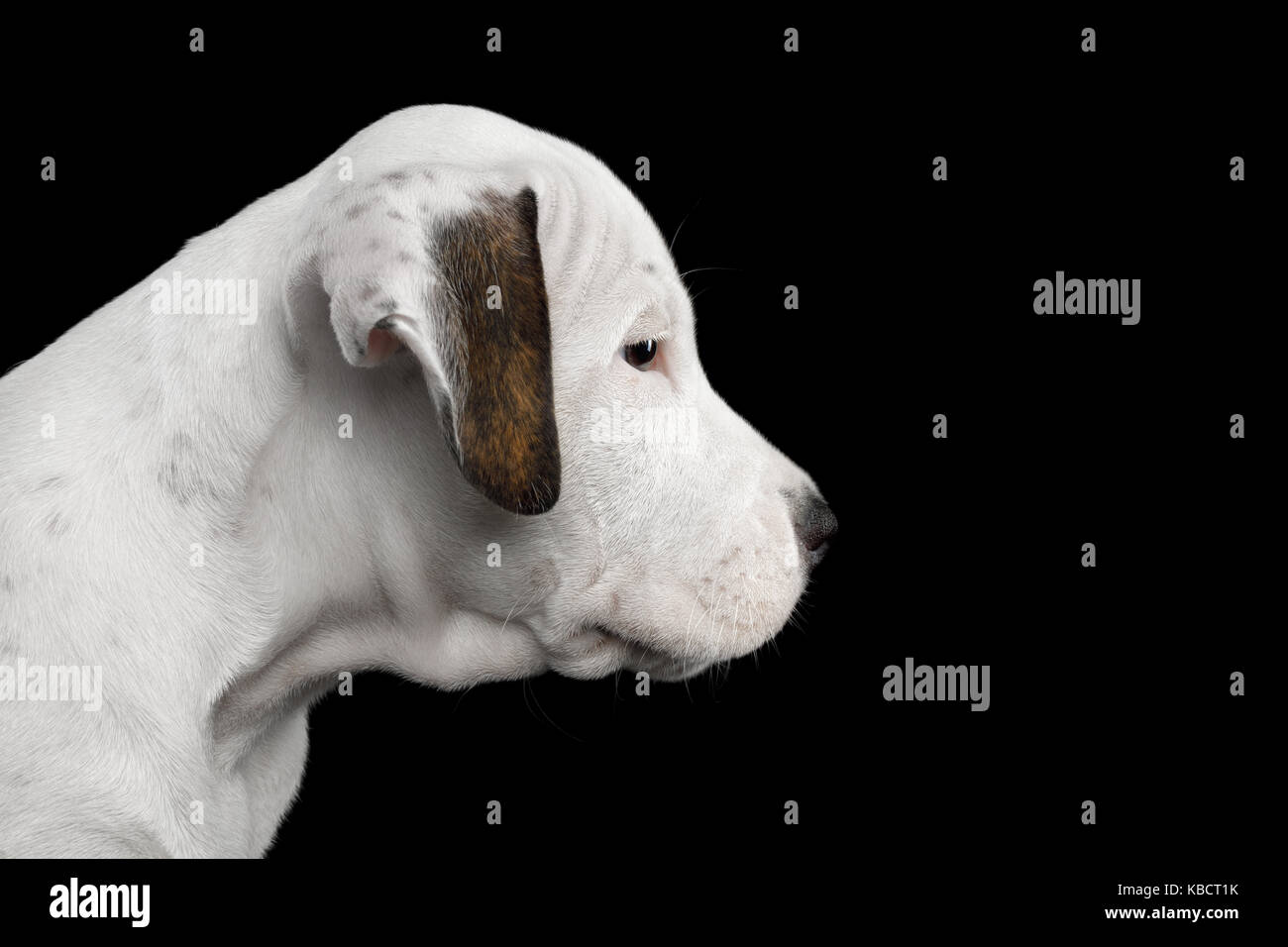 American Staffordshire terrier puppy Banque D'Images