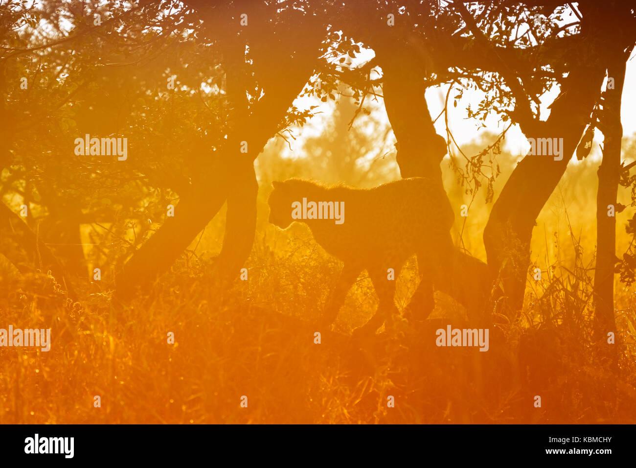 Le Guépard (Acinonyx jubatus) dans un arbre au lever du soleil, Kruger National Park, Mpumalanga, Afrique du Photo Stock
