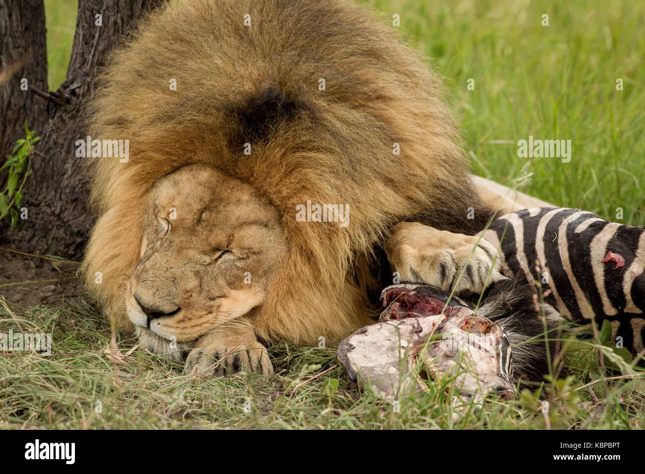 grand m le lion couch avec patte sur la protection de sa carcasse de z bre mort tuer pendant le. Black Bedroom Furniture Sets. Home Design Ideas