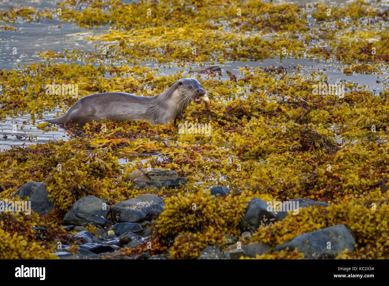 Royaume-uni: la faune Otter (lultra lultra) sur terre transport du poisson qu'il a pris sur la mer sur Photo Stock