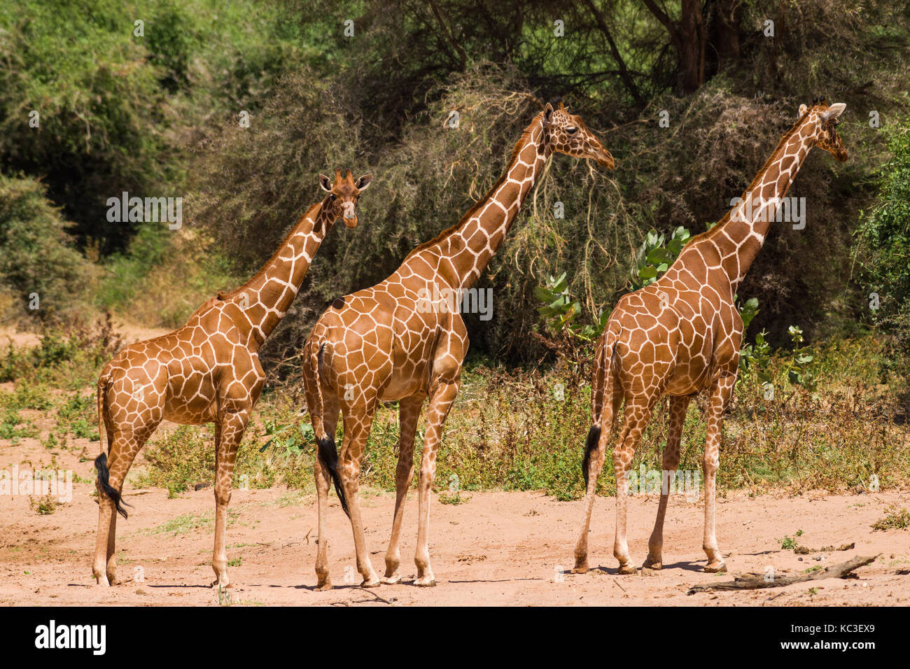 Giraffe réticulée (Giraffa camelopardalis reticulata), Samburu Jeu National Park Reserve, Kenya, Afrique de l'Est Banque D'Images