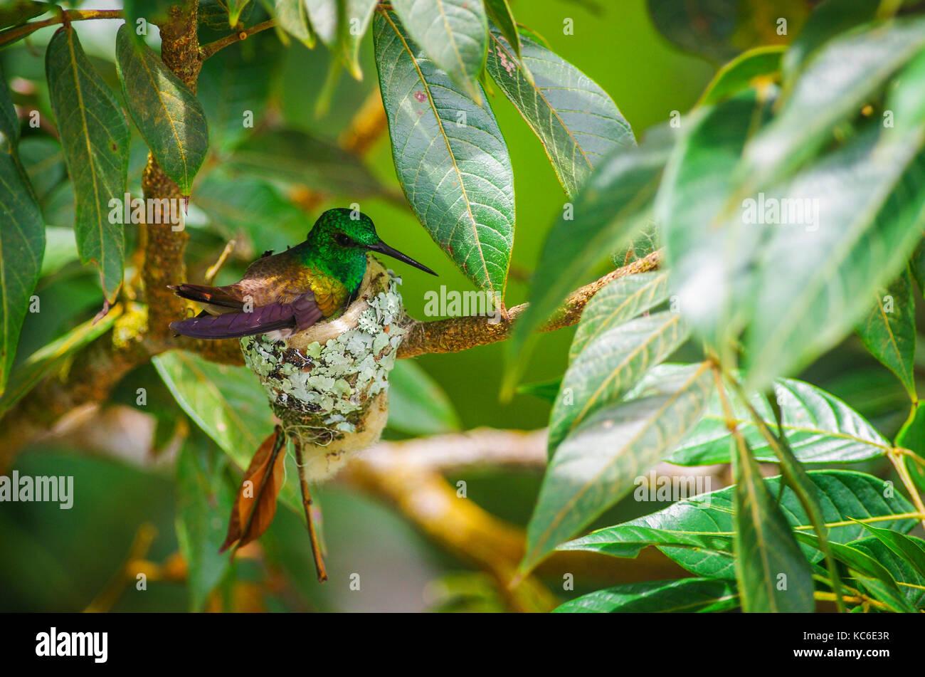 Le colibri à queue nid construit à partir de fibres végétales et des feuilles mortes et décorées Photo Stock