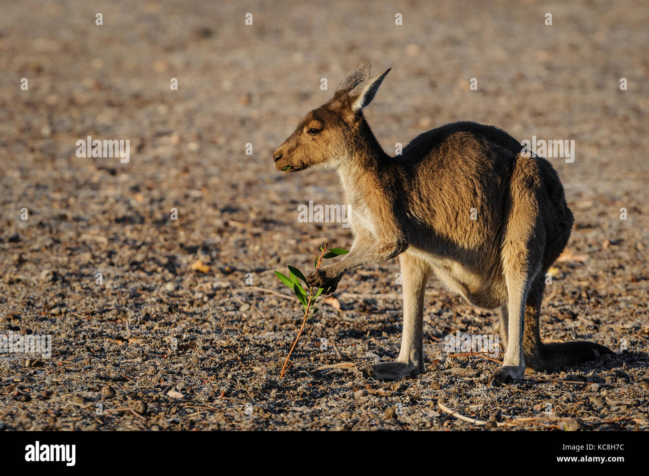 Kangourou gris de l'Ouest qui se nourrissent de la dernière dans une verte plaine à sec de l'os. Photo Stock