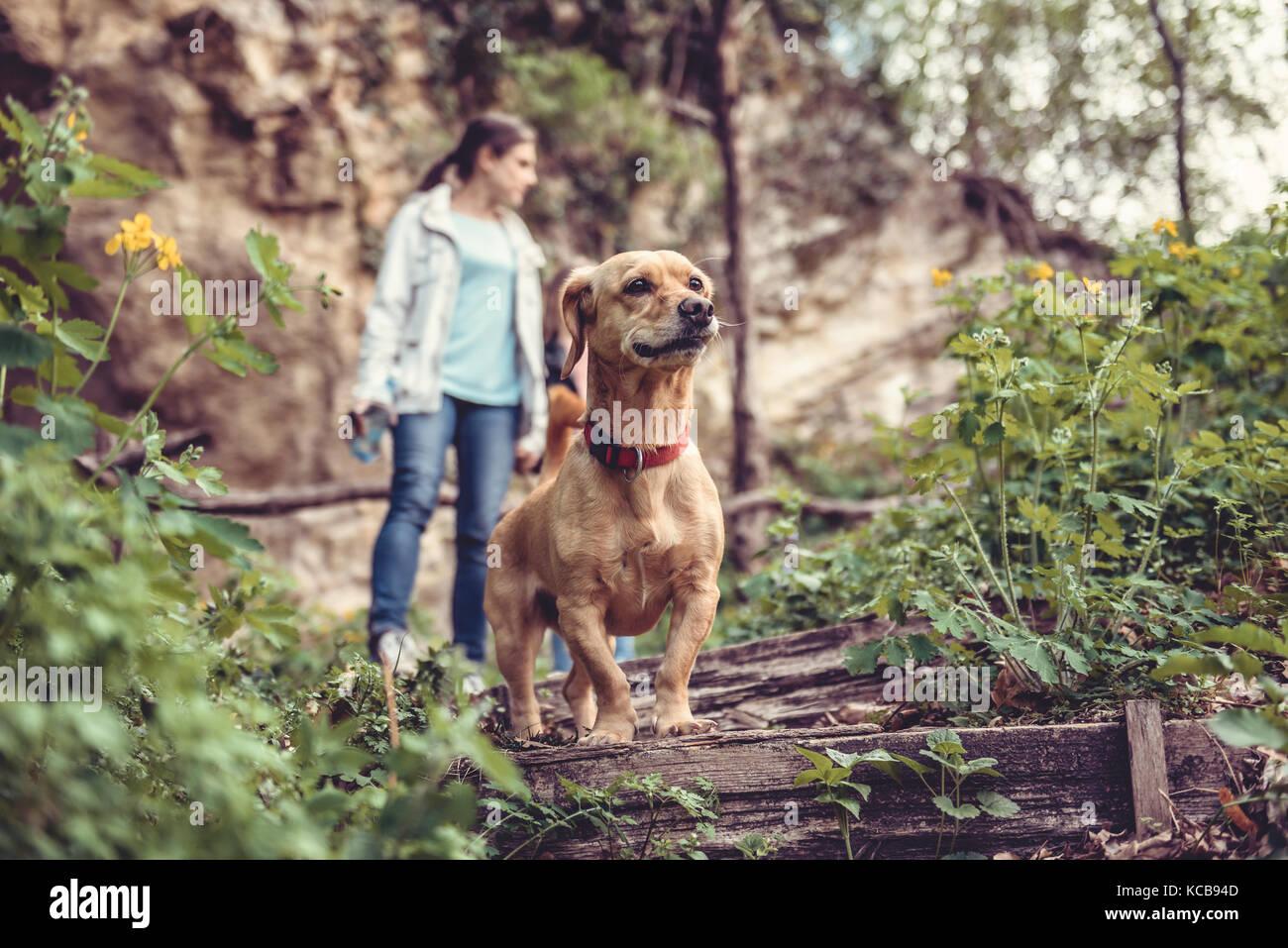 Petit chien jaune sur un sentier forestier avec un peuple marche dans l'arrière-plan Photo Stock
