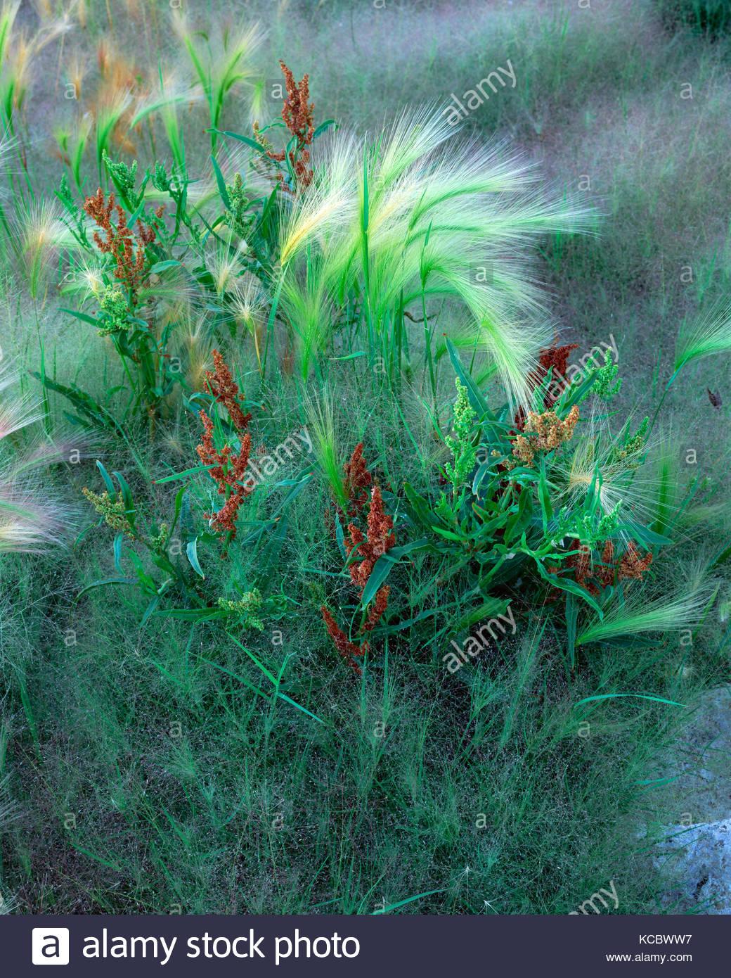Des graminées mixtes au lac Mono, Mono Basin National Forest, Californie Photo Stock