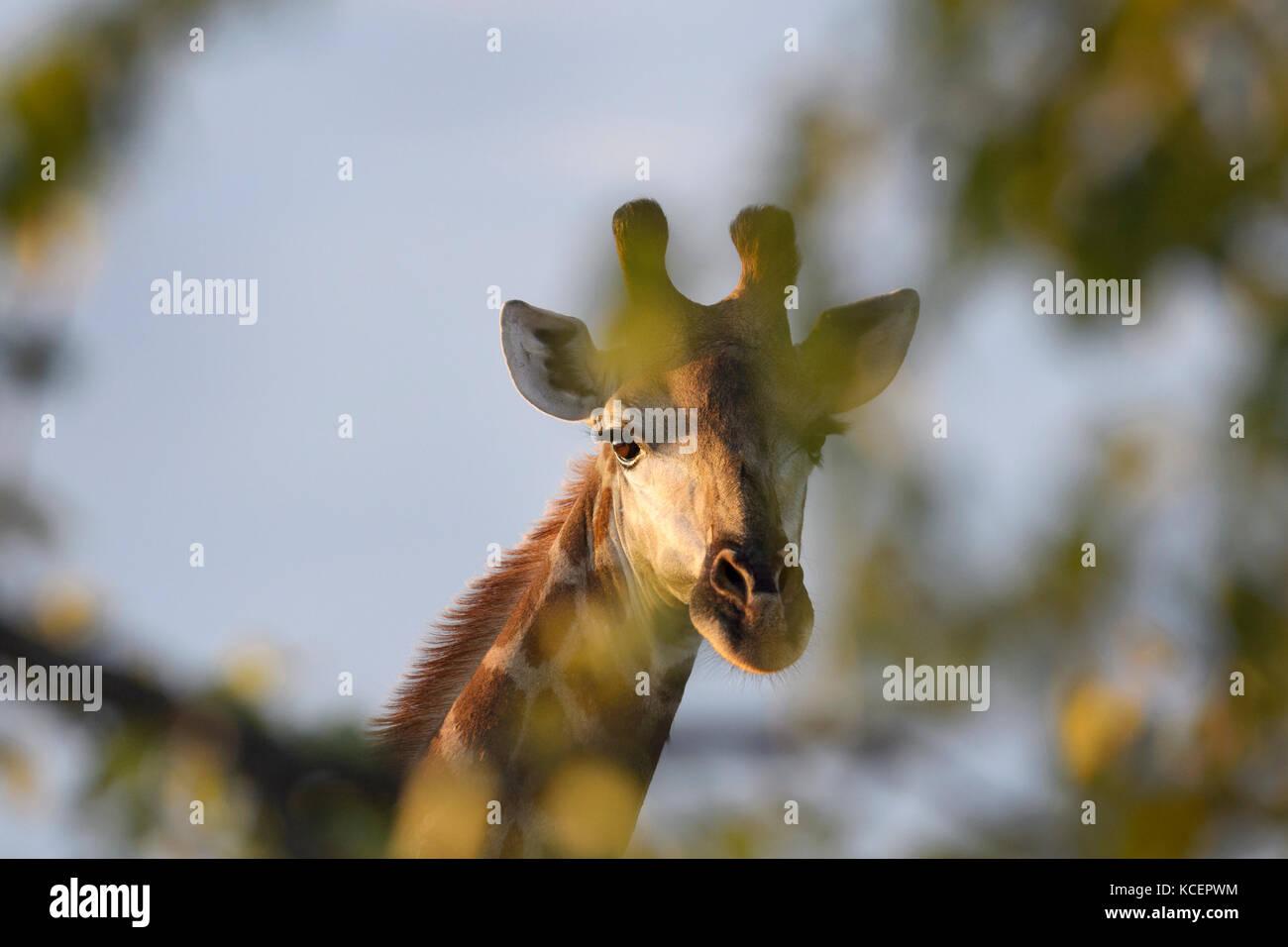 Girafe (Giraffa camelopardalis) looking at camera de derrière un arbre, Kruger National Park, Afrique du Sud Photo Stock