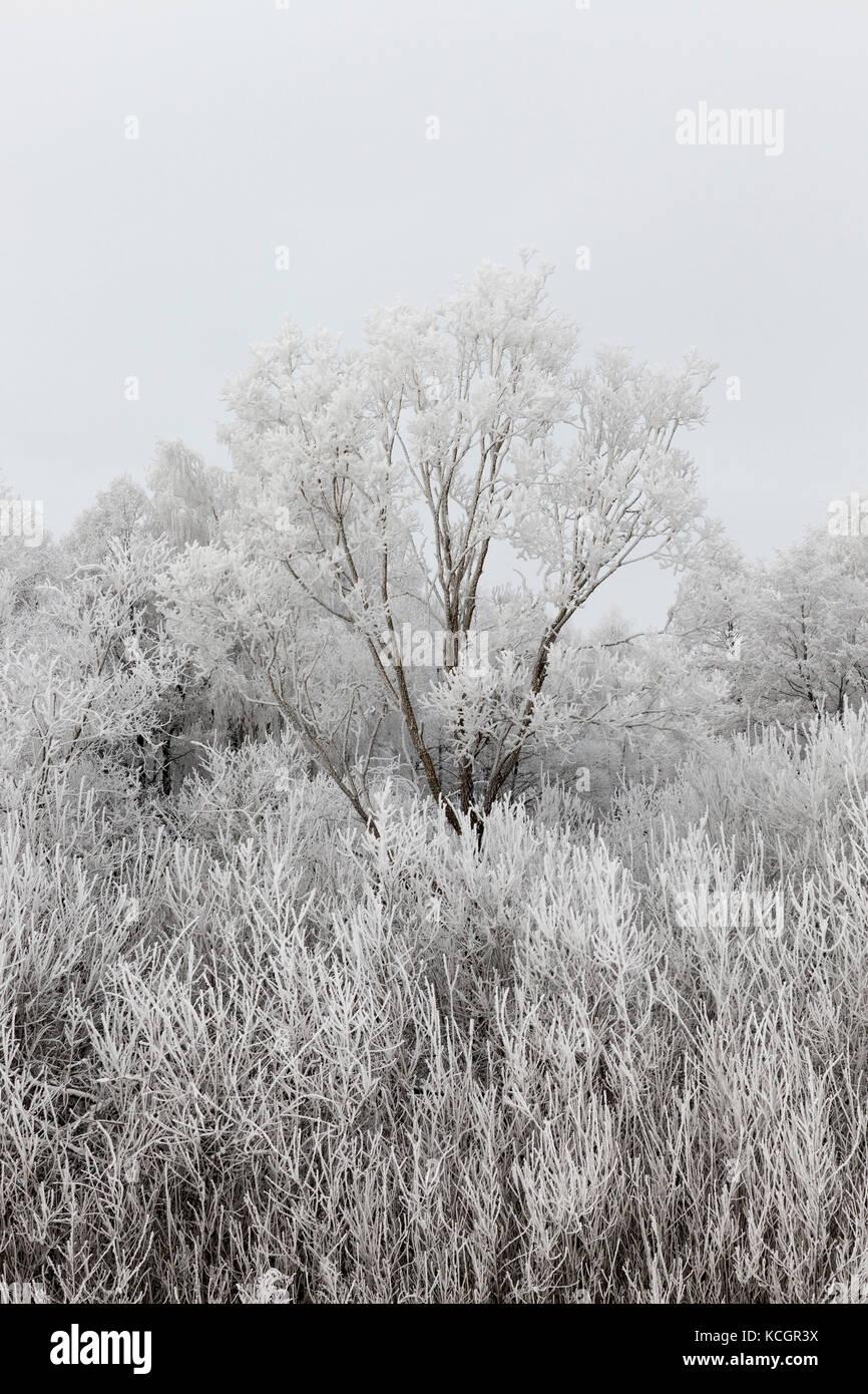 Les branches des arbres recouverts d'une épaisse couche de neige et le gel. territoire forestier dans la saison d'hiver. un arbre s'élève au-dessus des autres. presque monochr Banque D'Images