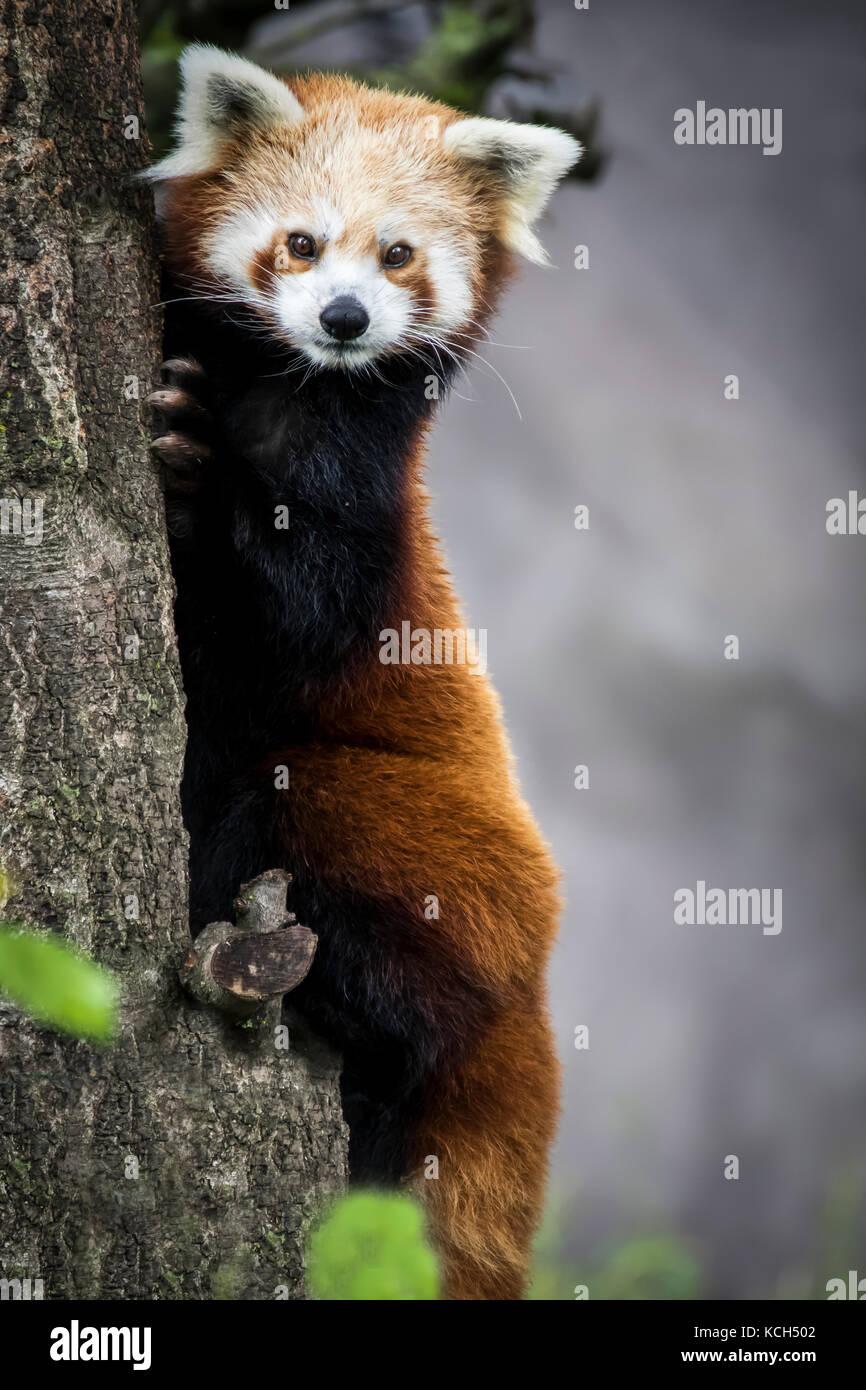 Panda chinois nain rouge Photo Stock