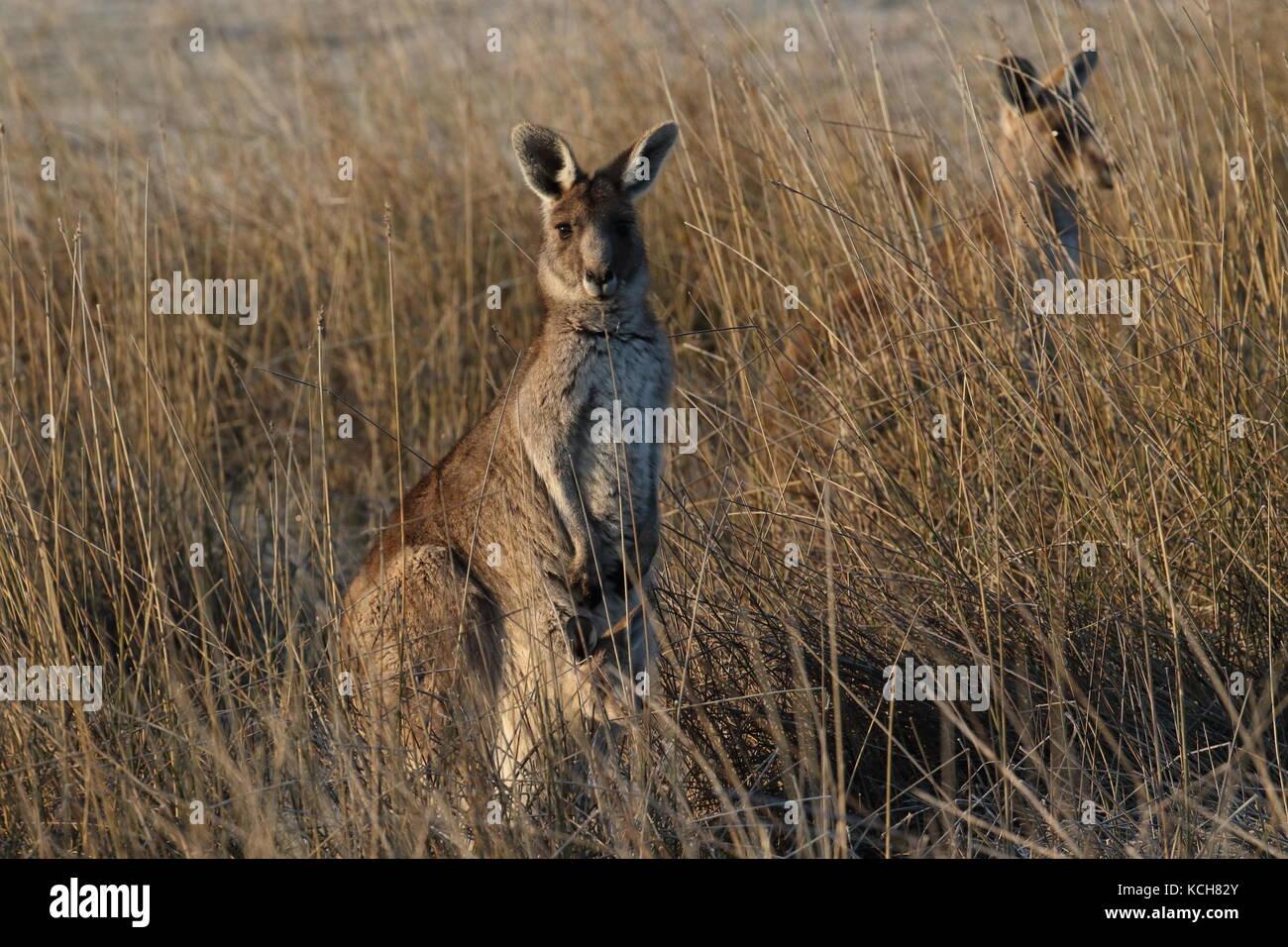 Avec poche kangourou gris de l'est joey Photo Stock