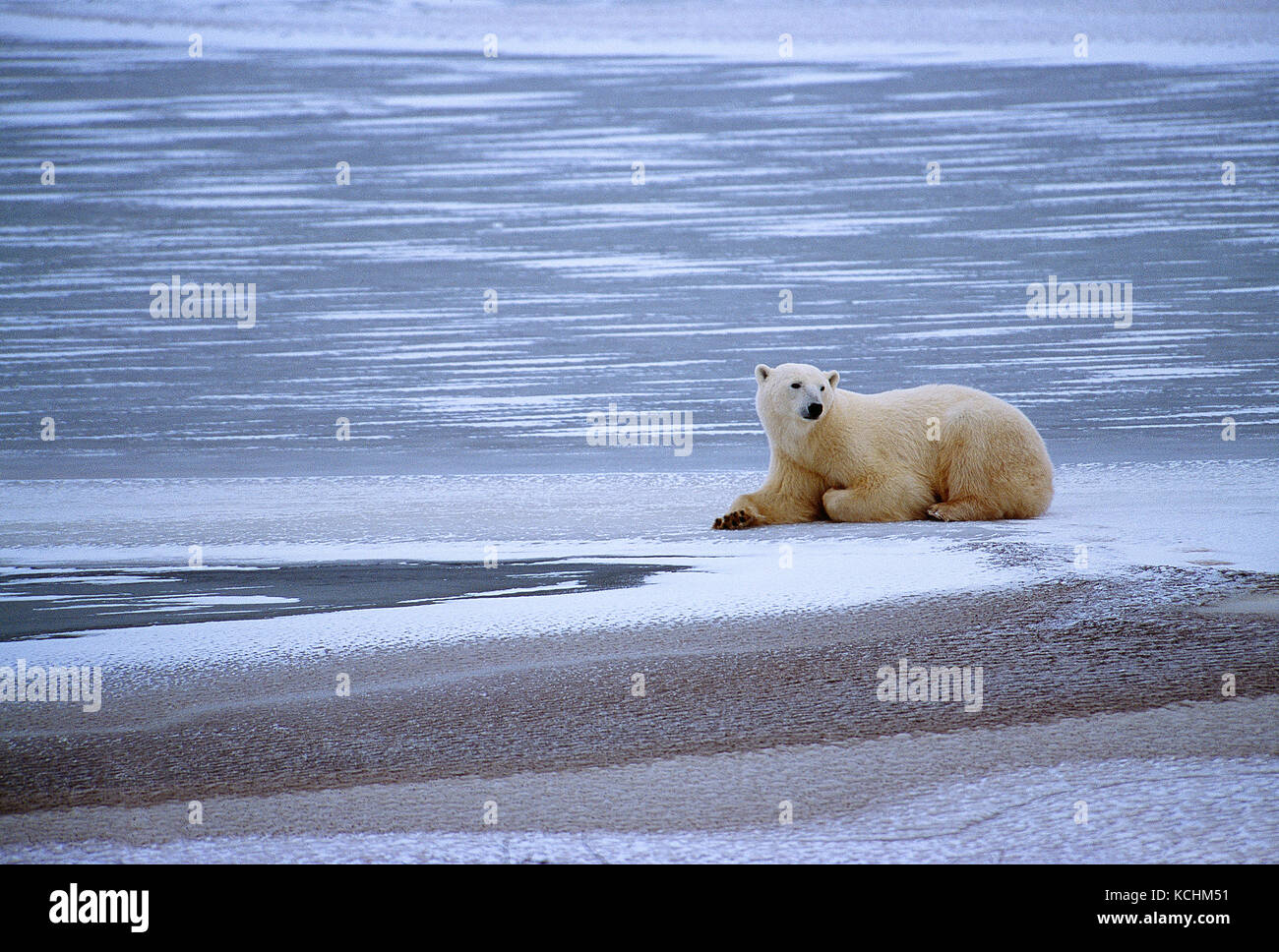 Canada. au Manitoba. Churchill. la faune. Ours polaire . Photo Stock