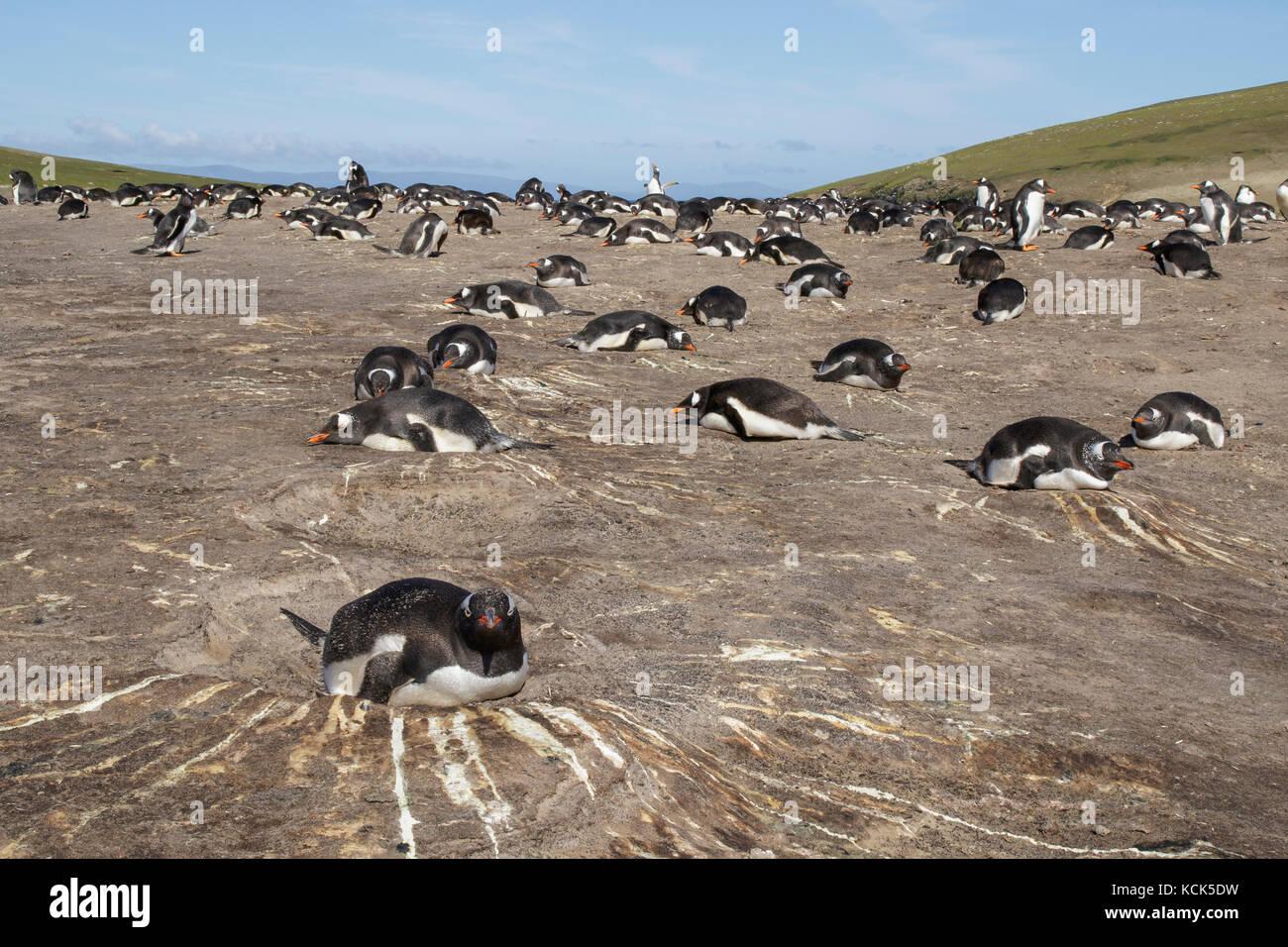 Gentoo pingouin (Pygoscelis papua) à sa colonie de nidification dans les îles Falkland Banque D'Images