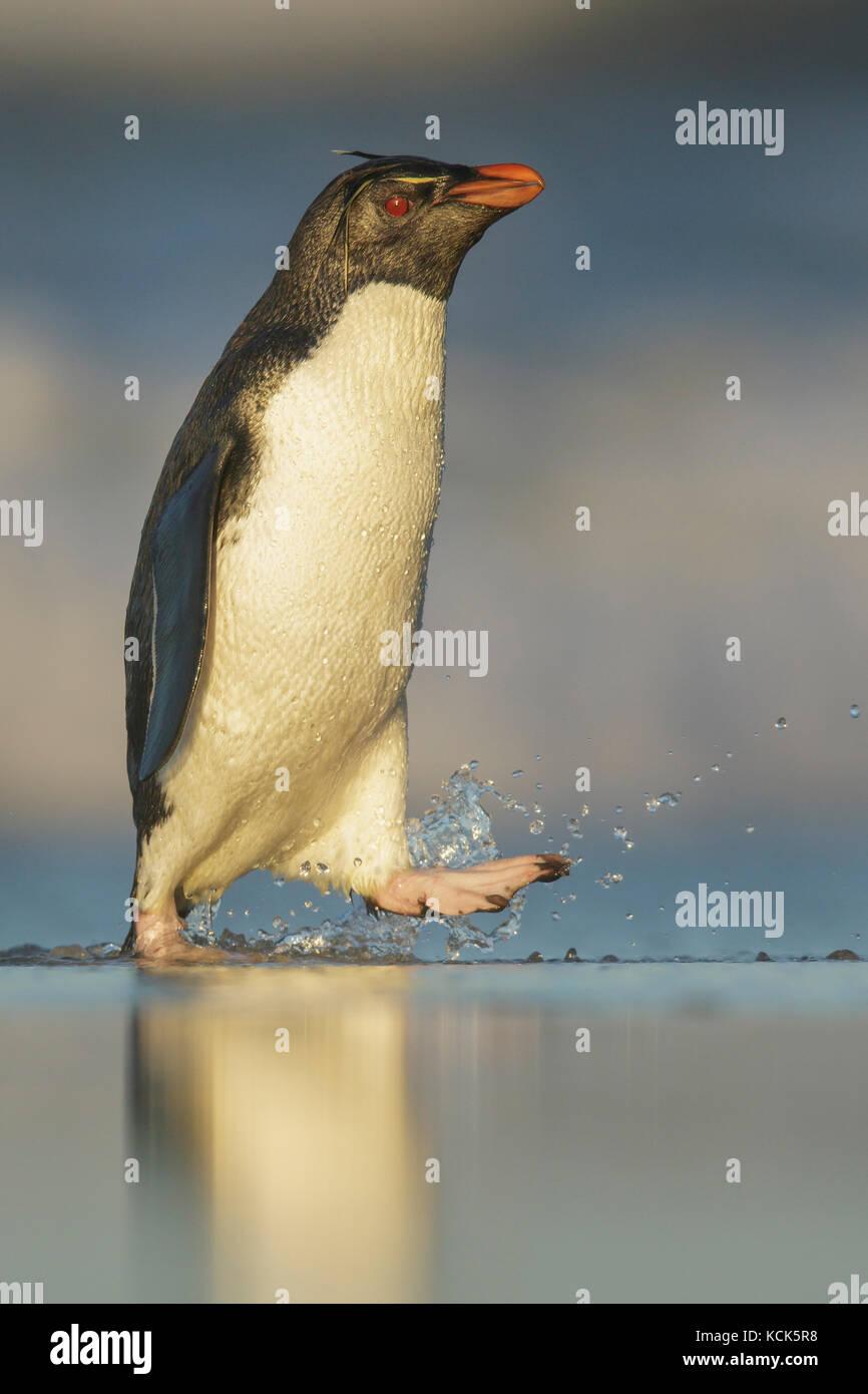 Rockhopper Penguin (Eudyptes chrysocome) émergeant de l'océan dans les îles Falkland. Photo Stock