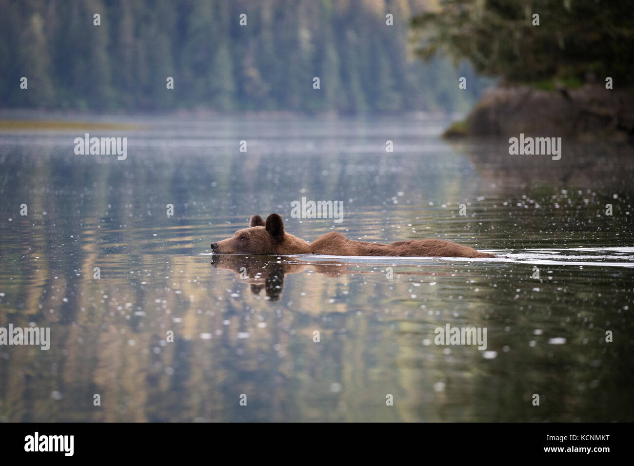 Ours grizzli (Ursus arctos horriblis), femme natation, khutzeymateen grizzly bear sanctuary, British Columbia, canada. Photo Stock
