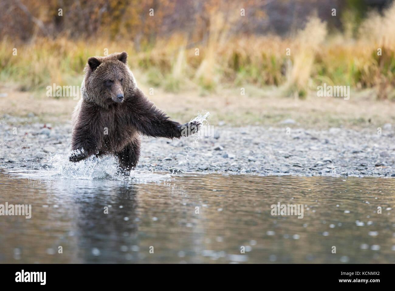 Ours grizzli (Ursus arctos horribilis), Cub, de charge, de la région de Chilcotin, en Colombie-Britannique, Photo Stock