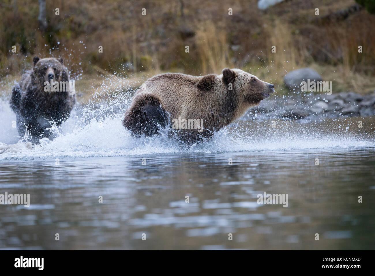 Ours grizzli (Ursus arctos horribilis), femme subdault cloloured chasse (plus léger) loin de ses petits (hors caméra), de la région de Chilcotin, en Colombie-Britannique, Canada. Banque D'Images