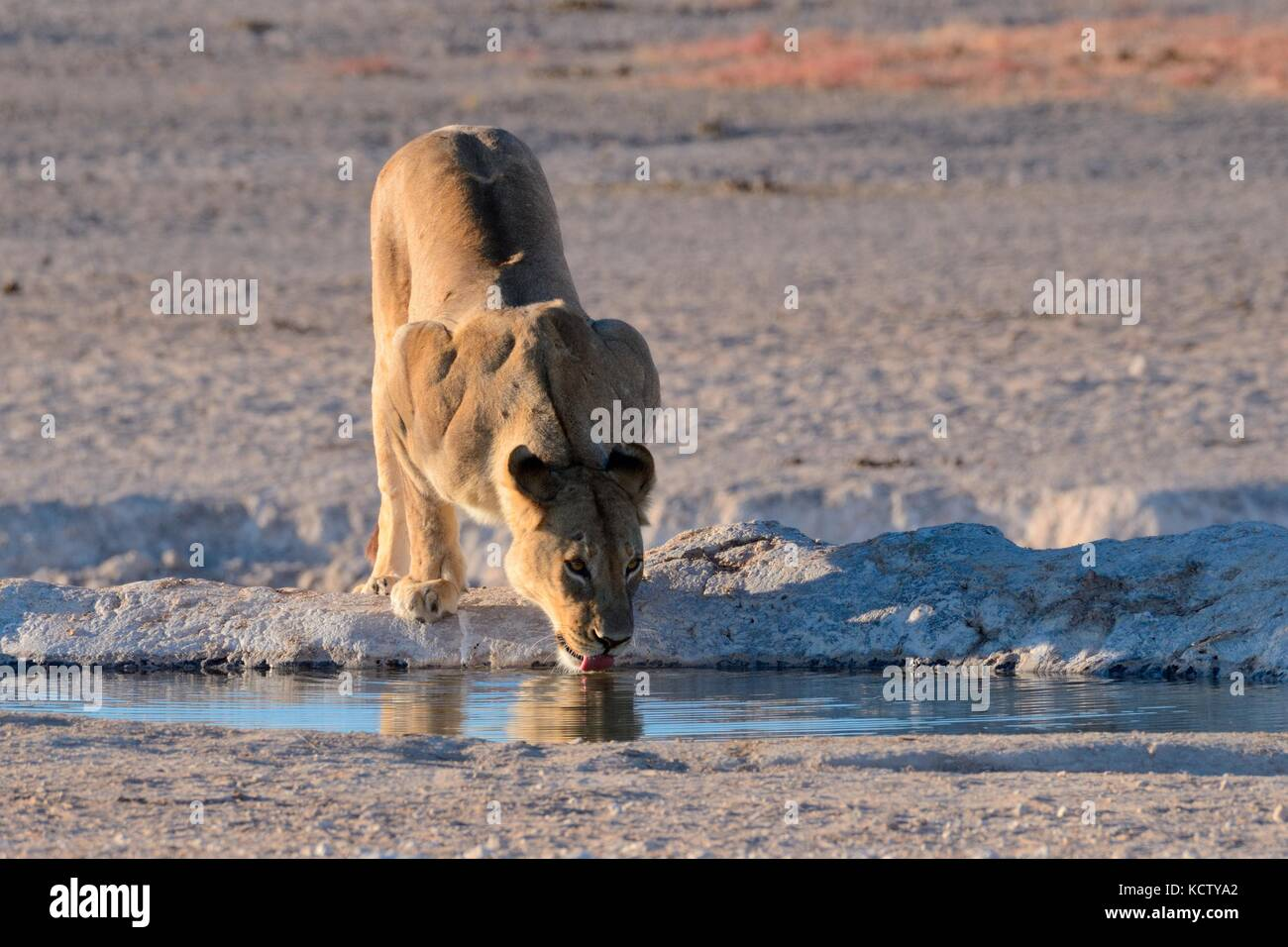 Lioness (Panthera leo) de boire à un point d'eau, lumière du matin, Etosha National Park, Namibie, Afrique Banque D'Images